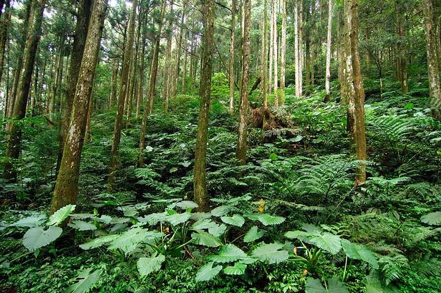 疏伐修枝的柳杉林,讓陽光注入林中,生態系更多樣!圖片來源:林務局提供