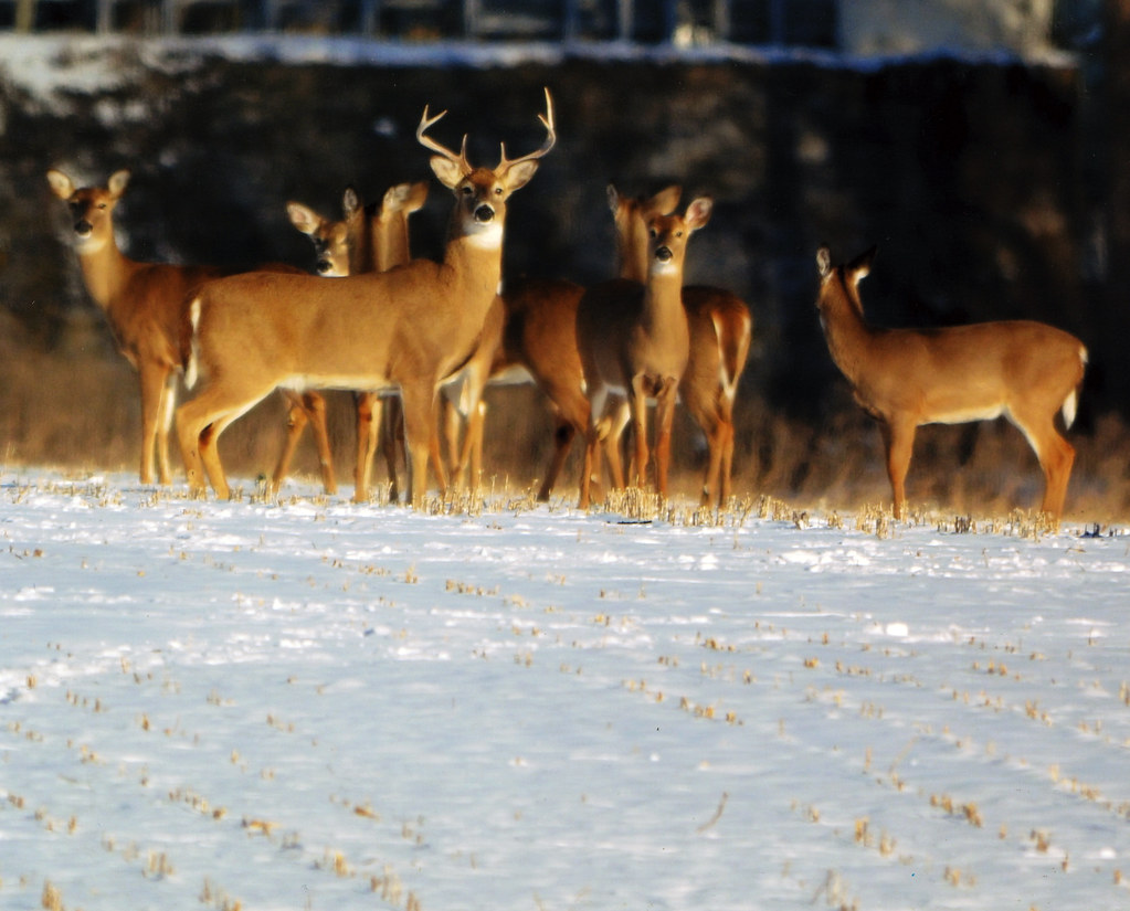 Photo of a deer herd at Monocacy Battlefield by Jan Branscome