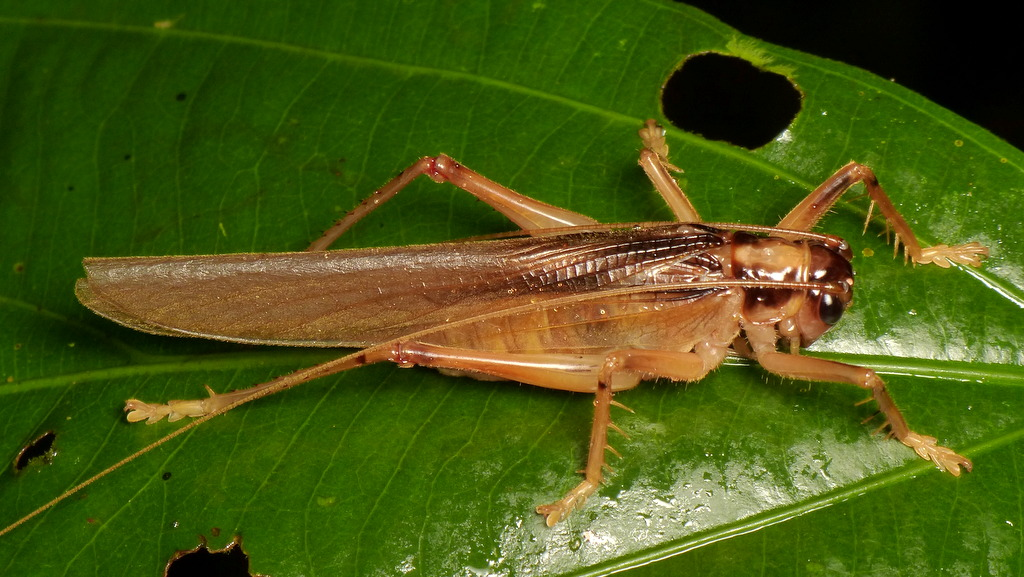 Grasshopper | more photos from the Yasuni Research Station ...
