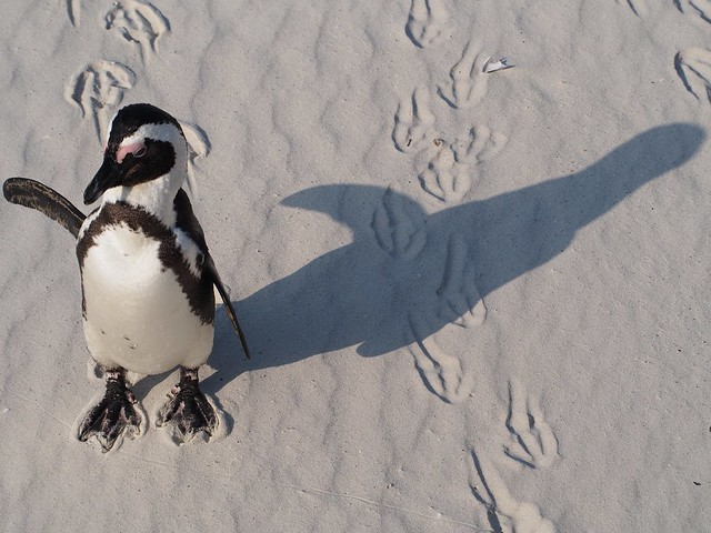 A penguin. In Africa.