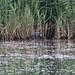 Western Purple Swamphen