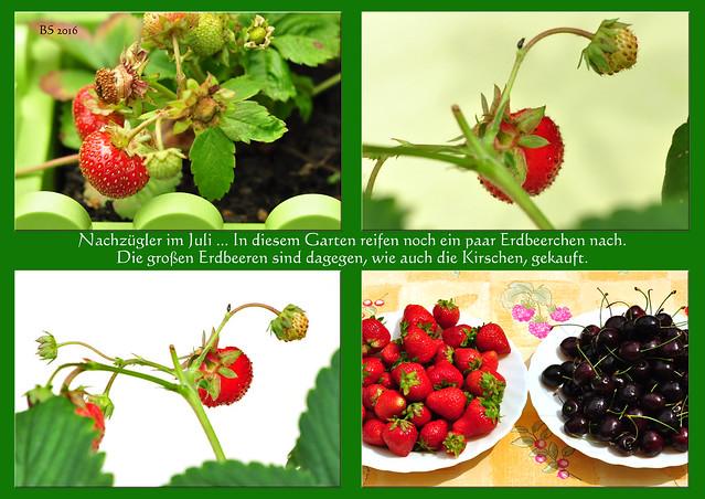 Garten Gartenfoto ... Nachzügler im Juli ... In diesem Garten reifen noch ein paar Erdbeerchen nach. Die großen Erdbeeren sind dagegen, wie auch die Kirschen, gekauft ... Foto und Collage: Brigitte Stolle 2016