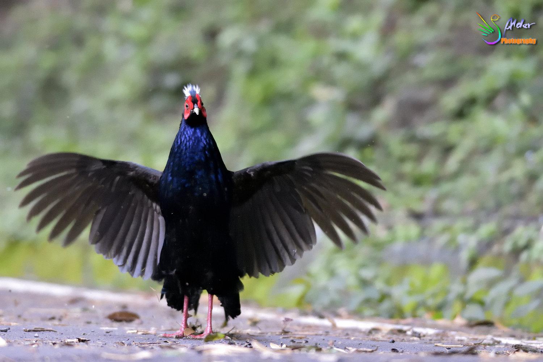 Swinhoe_Pheasant_4857