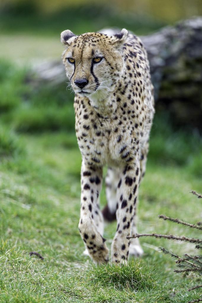 Grumpy cheetah walking | This cheetah was looking quite ... Cheetah