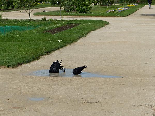 les corbeaux se baignent