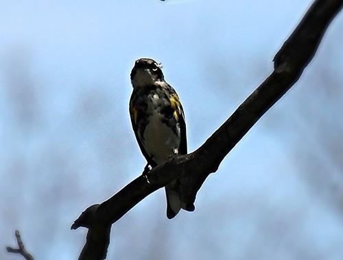 IMG_5314_Yellow_Rumped_Warbler
