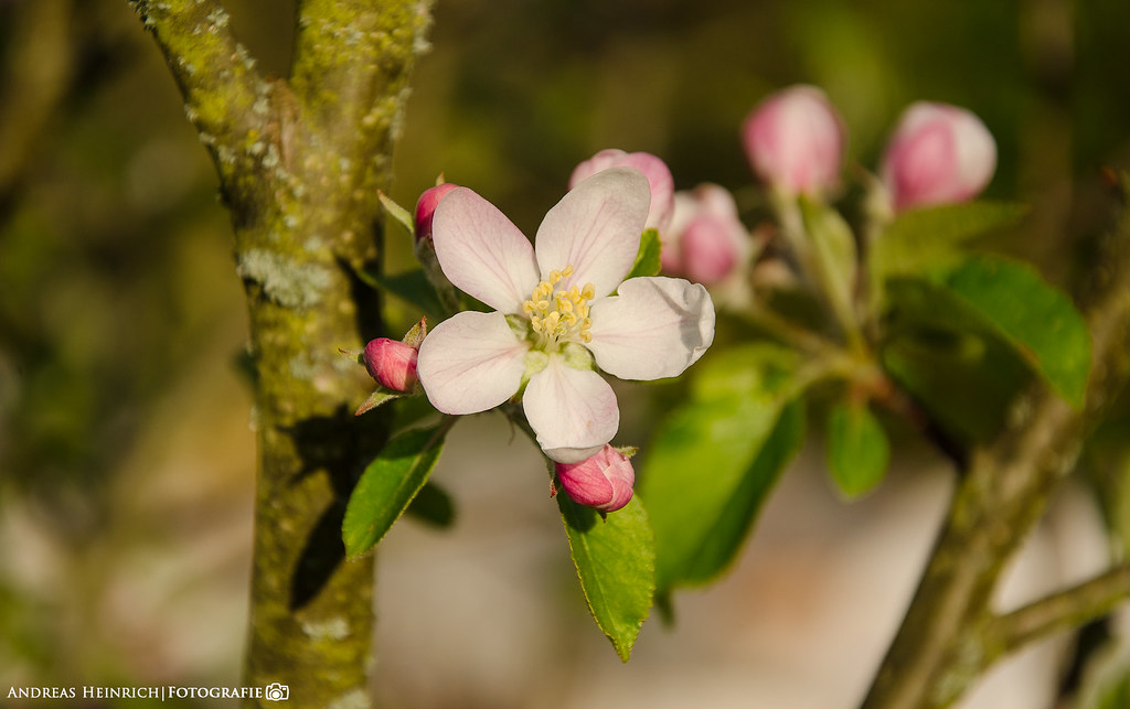 The beautiful Apple Blossom.