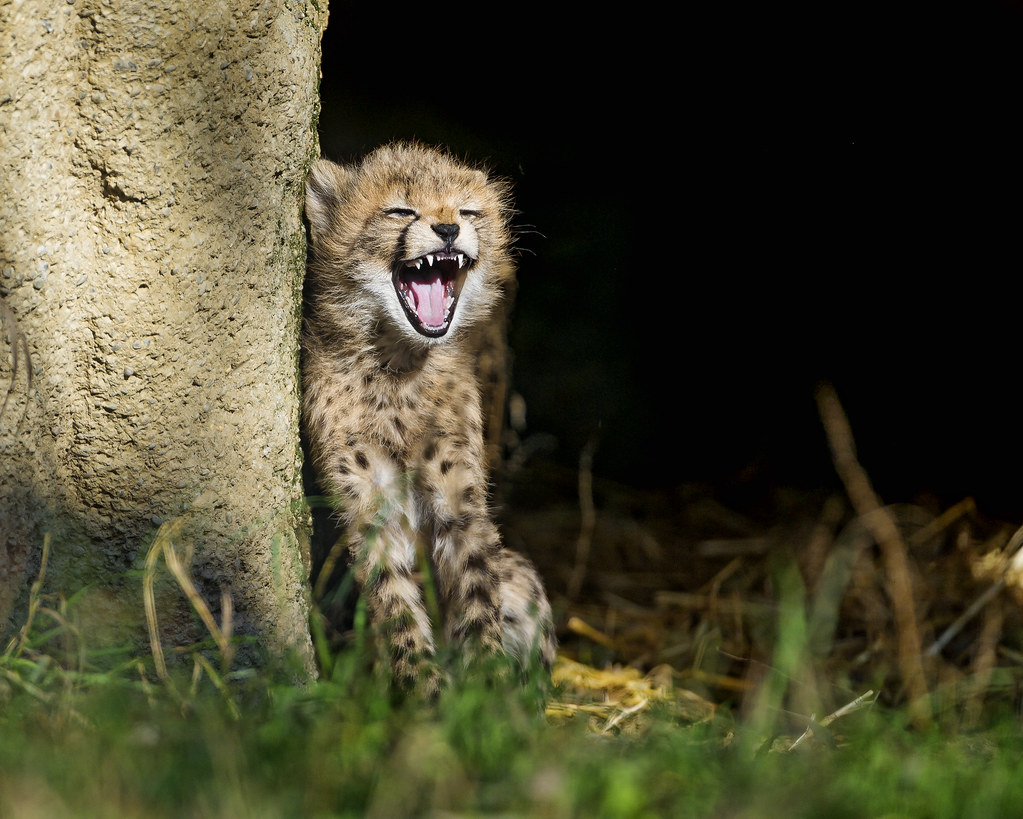 laughing cheetah - photo #27