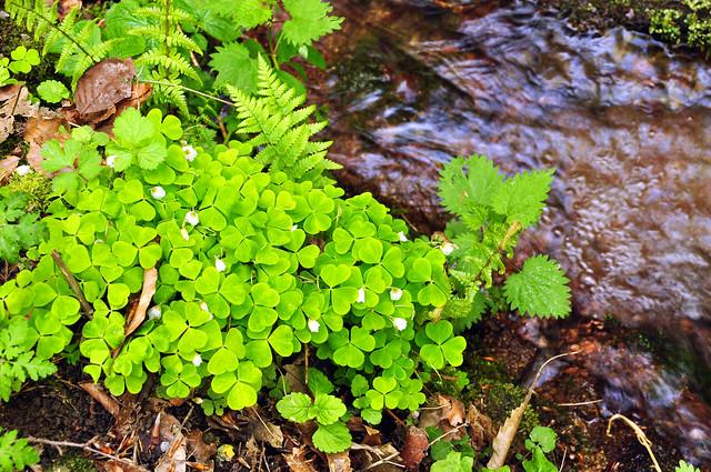 Der Wald-Sauerklee ist sehr gut an seinen typischen dreizähligen Kleeblättern zu erkennen. Die weißen Blüten, die im April und Mai erscheinen, sehen jedoch ganz anders aus als beim Wiesenklee: Sie sind lang gestielt und besitzen fünf Blütenblätter. Wie der Name sagt, findet man den Wald-Sauerklee in Wäldern, häufig auf feuchten, modrigen Böden oder wie hier, direkt am Ufer eines kleinen Baches. Dass er meist an dunklen Stellen und im Schatten zu finden ist, erfreut die Fotografin nicht. Erstaunlicherweise kommt die Pflanze mit nur 1 Prozent Tageslicht gut zurecht. Der wissenschaftliche Name ist Oxalis acetosella. Durch die enthaltene Oxalsäure schmeckt Wald-Sauerklee deutlich säuerlich. Ein paar Blättchen davon geben dem Salat oder der Suppe eine angenehme und erfrischende Note; zuviel Oxalsäure reizt jedoch den Magen. Die Dosis macht's! Foto und Text: Brigitte Stolle, Mai 2016