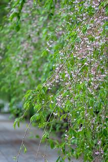Cherry blossoms, Kitijyouji, Honkomagome.