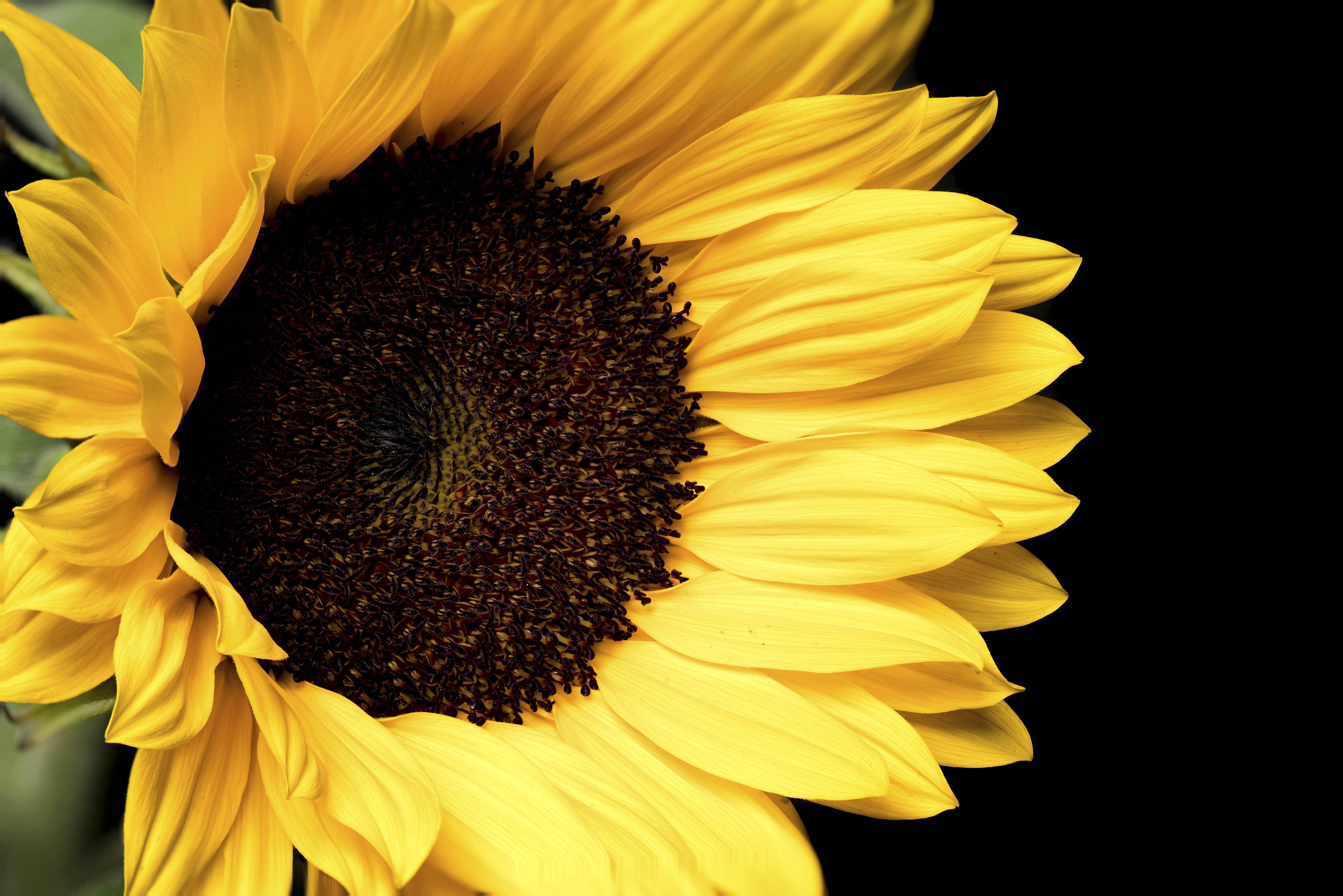 Sunflower [7952 x 5304] [OC]