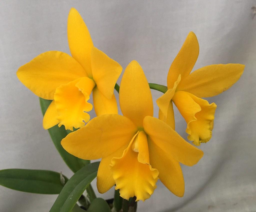 Potinara Love Spirit 'NN#1' #potinara #yellow #cattleya #o…   Flickr