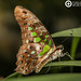 Tailed Jay- Graphium cf. agamemnon