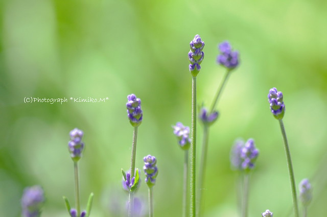 早咲きラベンダー