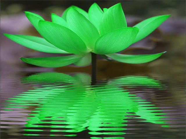 Green Lotus Reflection