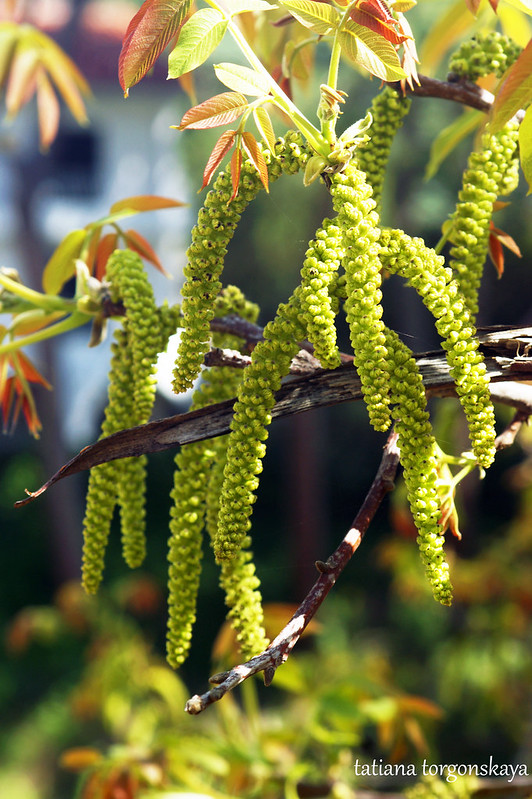 Сережки на оревом дереве