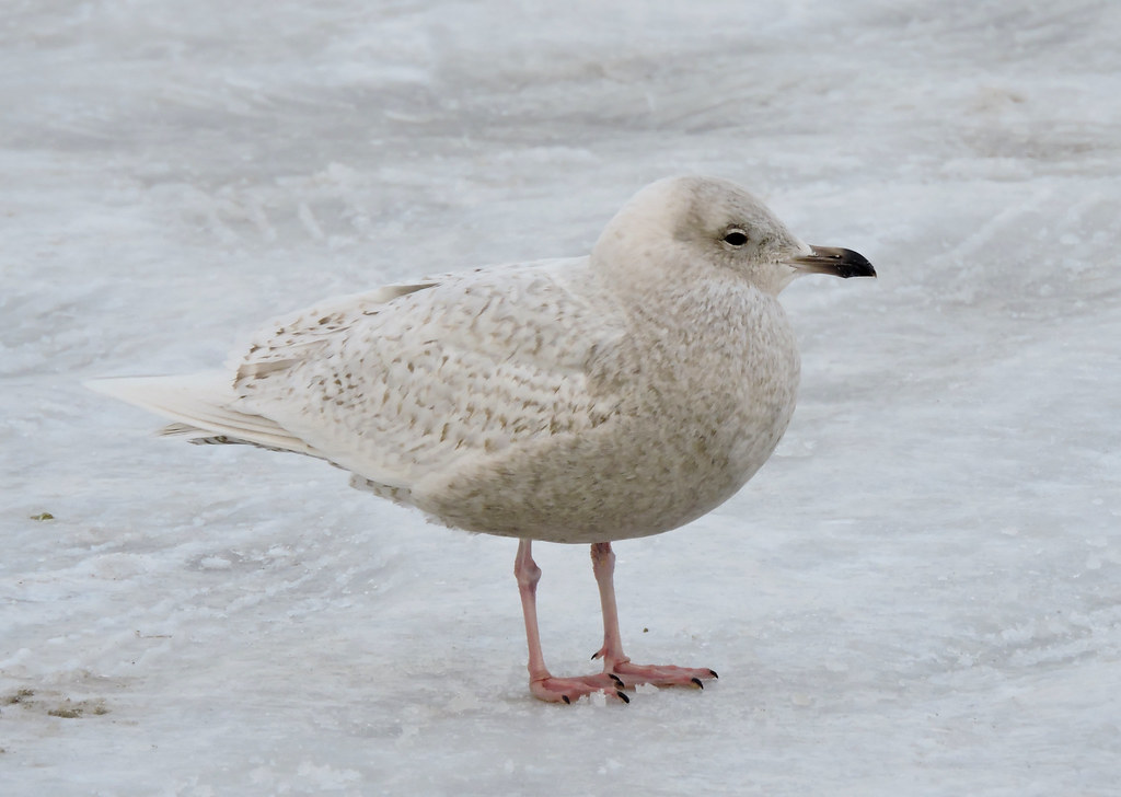 Kumlien S Iceland Gull First Winter Plymouth Town