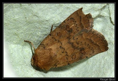 Noctuelle de la Morgeline (Hoplodrina octogenaria)