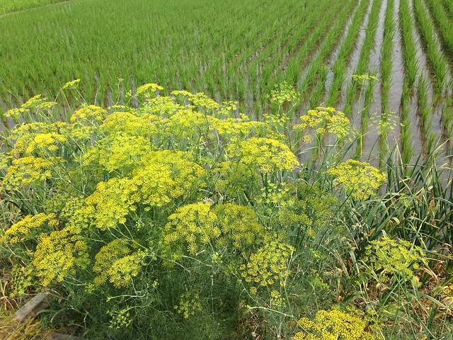 田埂的野草很多都是可以利用的植物。攝影:廖靜蕙
