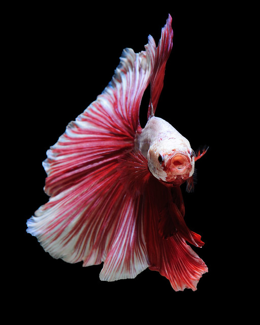White red betta fish flickr photo sharing for Black and white betta fish