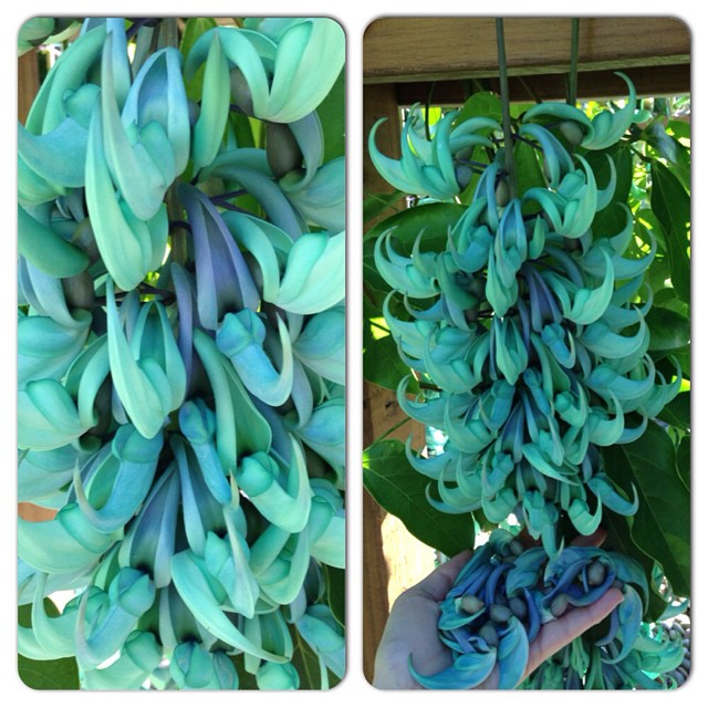 The spectacular jade vine's blooms turn from bluish-green to bluish-purple right before they fall from the plant. #backyardgarden #jadevine