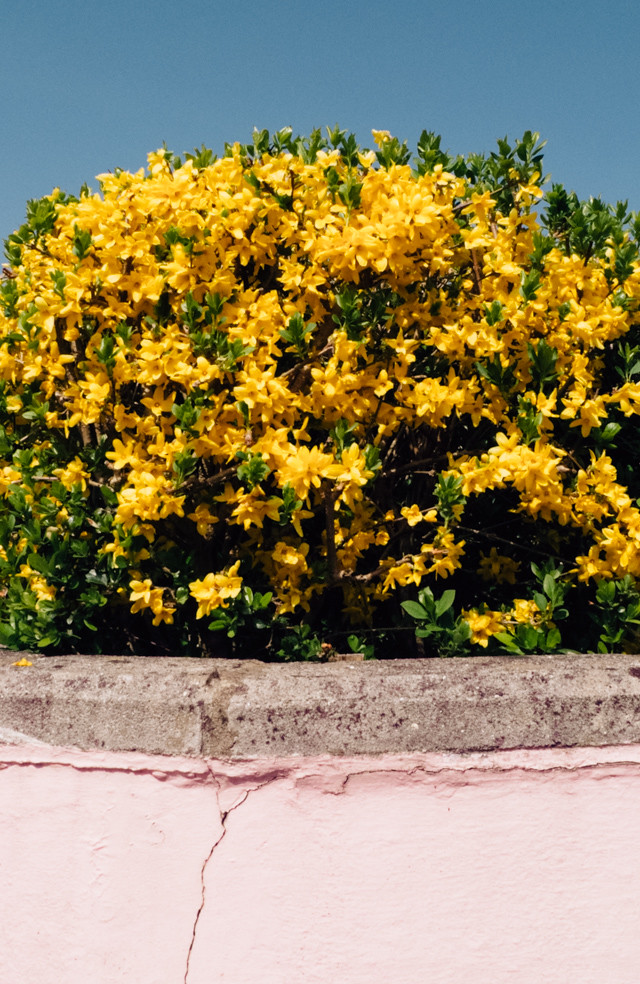 yellow flowers behind pink wall