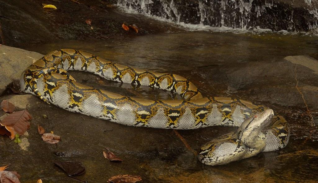 Reticulated Python Malayopython Reticulatus A Large