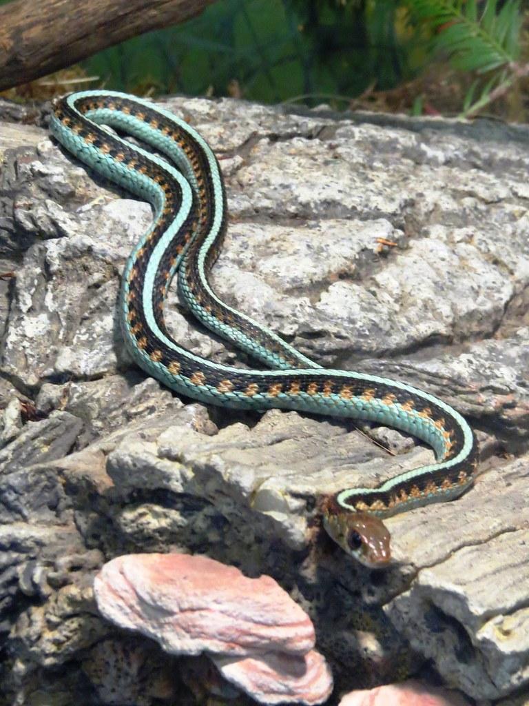 Garter Snake Garter Snakes Are Seen All Over North America Flickr