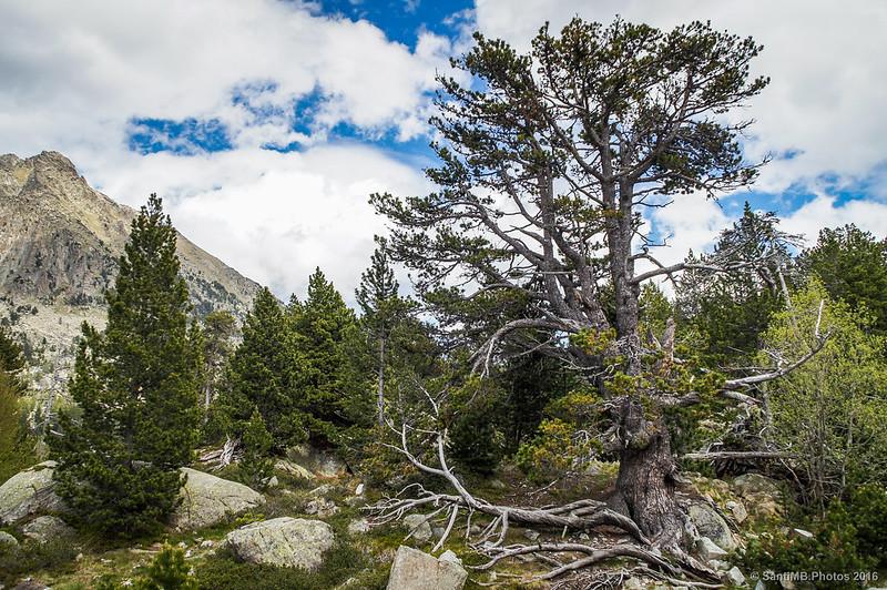 Un pino caótico