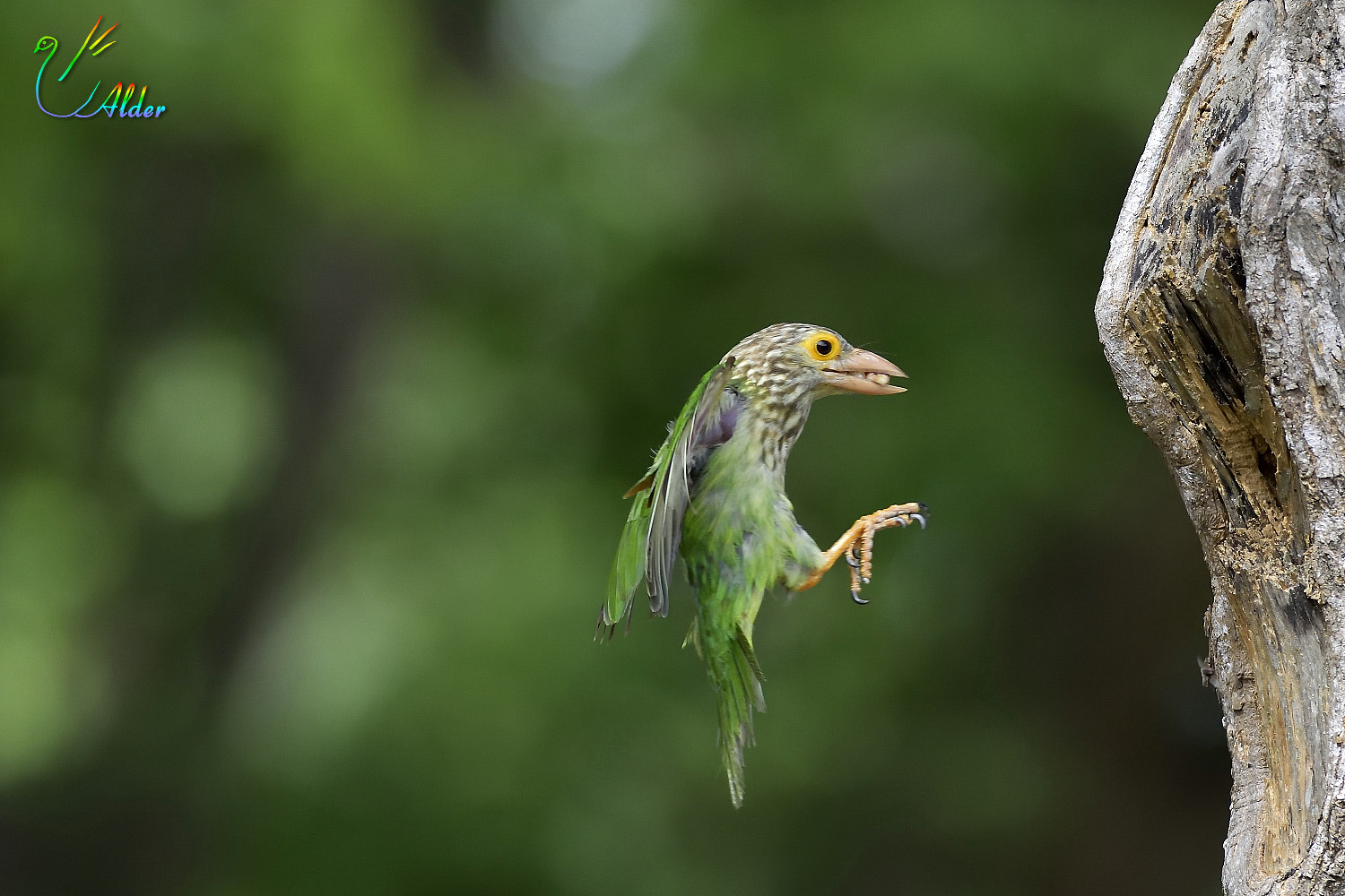 Lineated_Barbet_6467