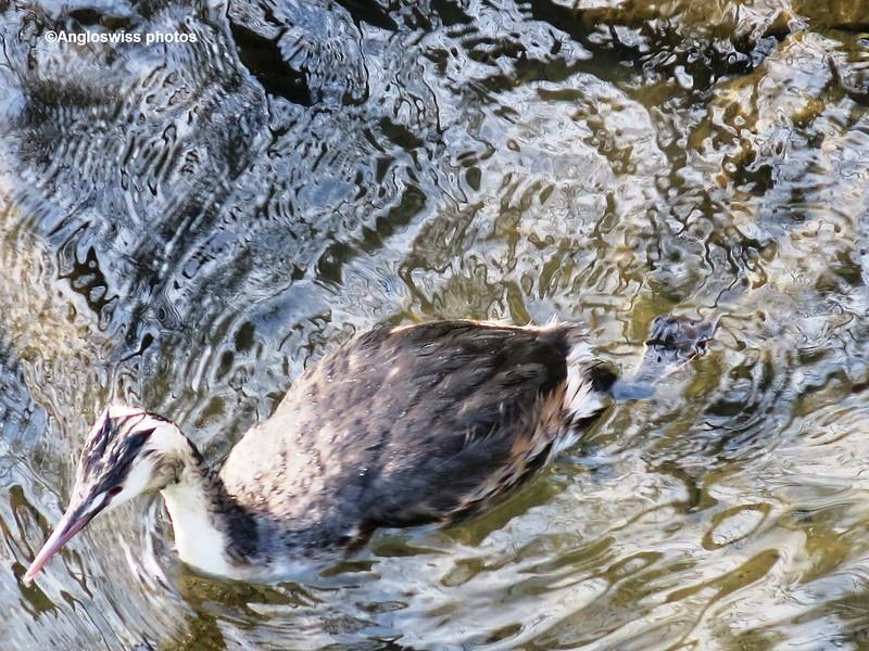 Unknown duck on River Aar