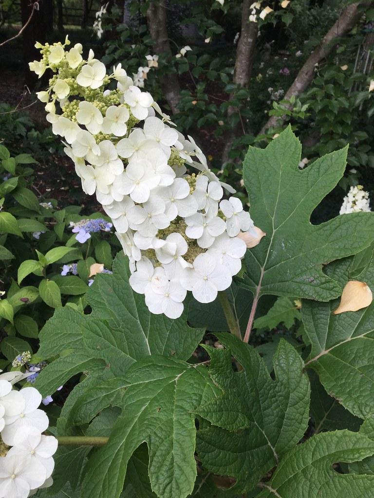 oak leaf hydrangea panicle snow queen delawaregardener