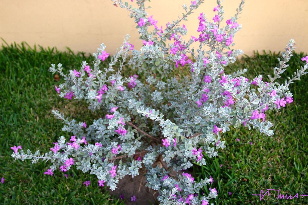 Texas Ranger Leucophyllum Frutescens Y Candidum Scrophul