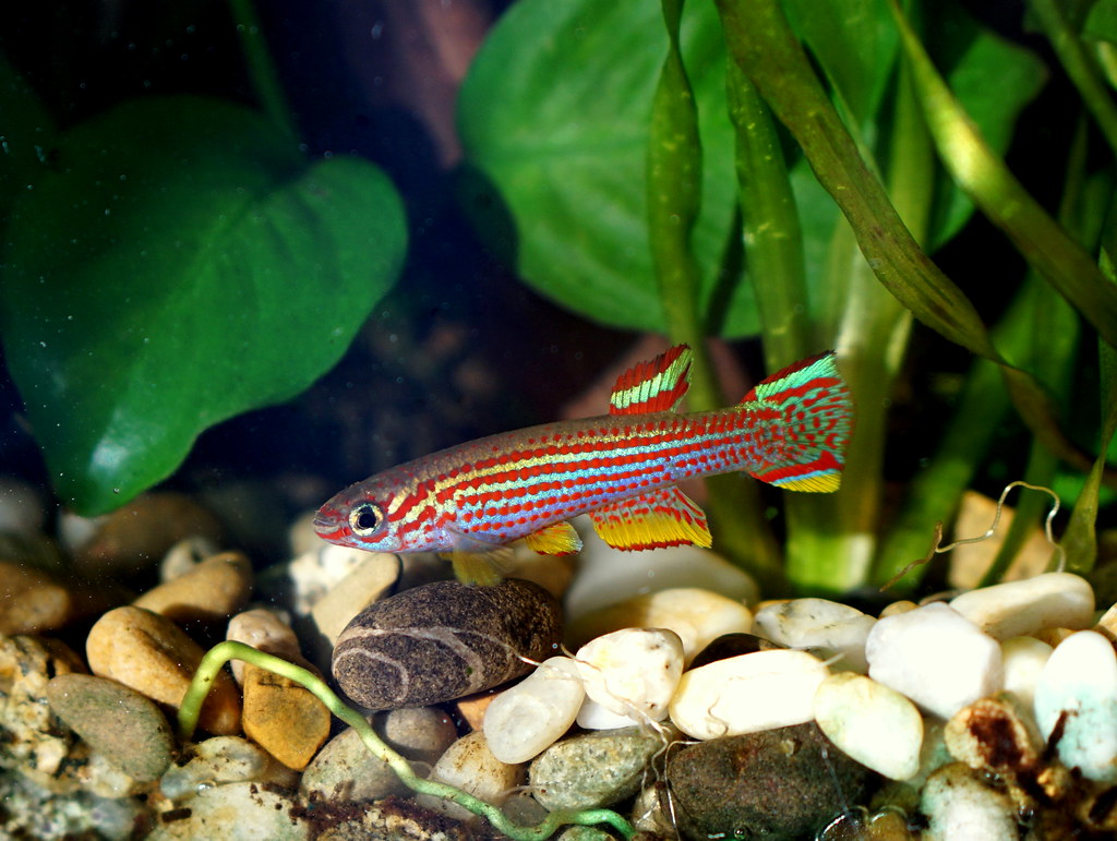 Aphyosemion Striatum Red Striped Killifish Aphyosemion