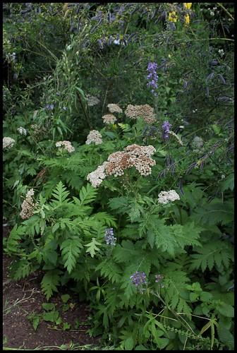 Tanacetum macrophyllum (1)