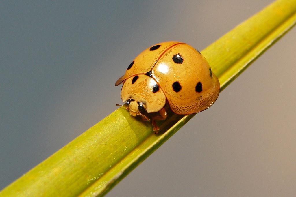 Lady Beetle (Megalocaria dilatata, Coccinellidae)