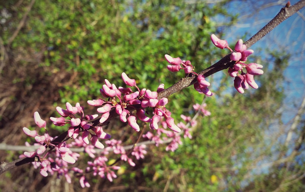 Spring Flower Buds Pink Flower Buds In Spring James Earls Flickr