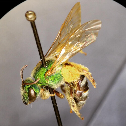 Close up image of an Agapostemon virescens specimen