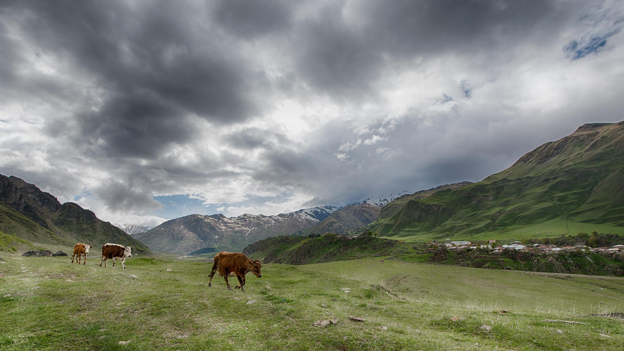 Cows of the Caucasus