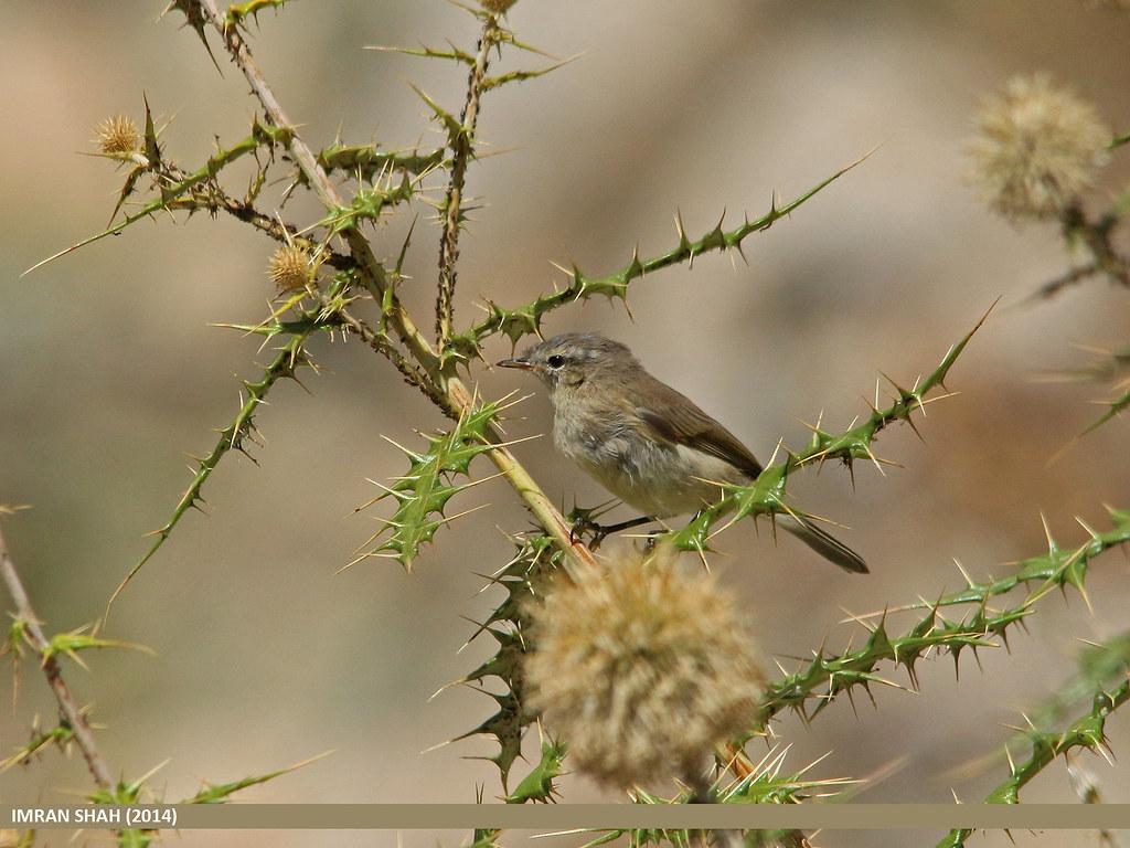 Mountain Chiffchaff (Phylloscopus sindianus) | Mountain ... Mountain Chiffchaff