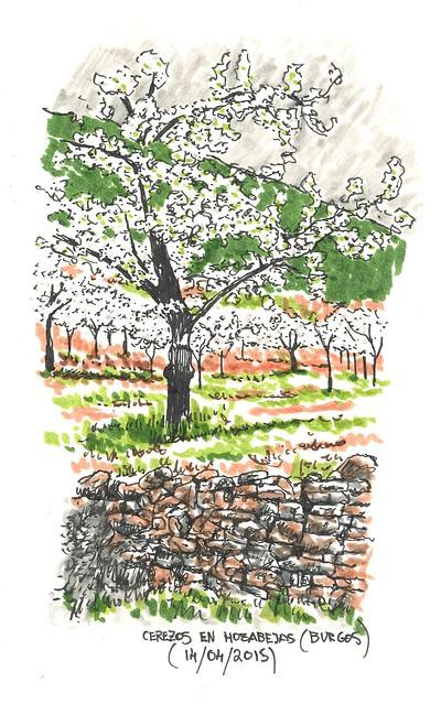 Hozabejas (Burgos). Cerezos