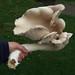 giant King Oyster mushroom
