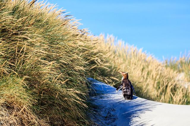 Yellow-Eyed Penguin, Sandfly Bay, Otago, New Zealand