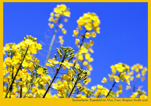Anfang Mai 2016: Es blüht in Mannheim-Seckenheim, rund um den Wasserturm und entlang der Umgehungsstraße: Kirsch- und Apfelbäume, Weißdorn, Scharfer Hahnenfuß, Gänseblümchen ... und die Rapsfelder leuchten schon von Weitem in knalligem Gelb - schööön ! Fotos und Collagen: Brigitte Stolle 2016