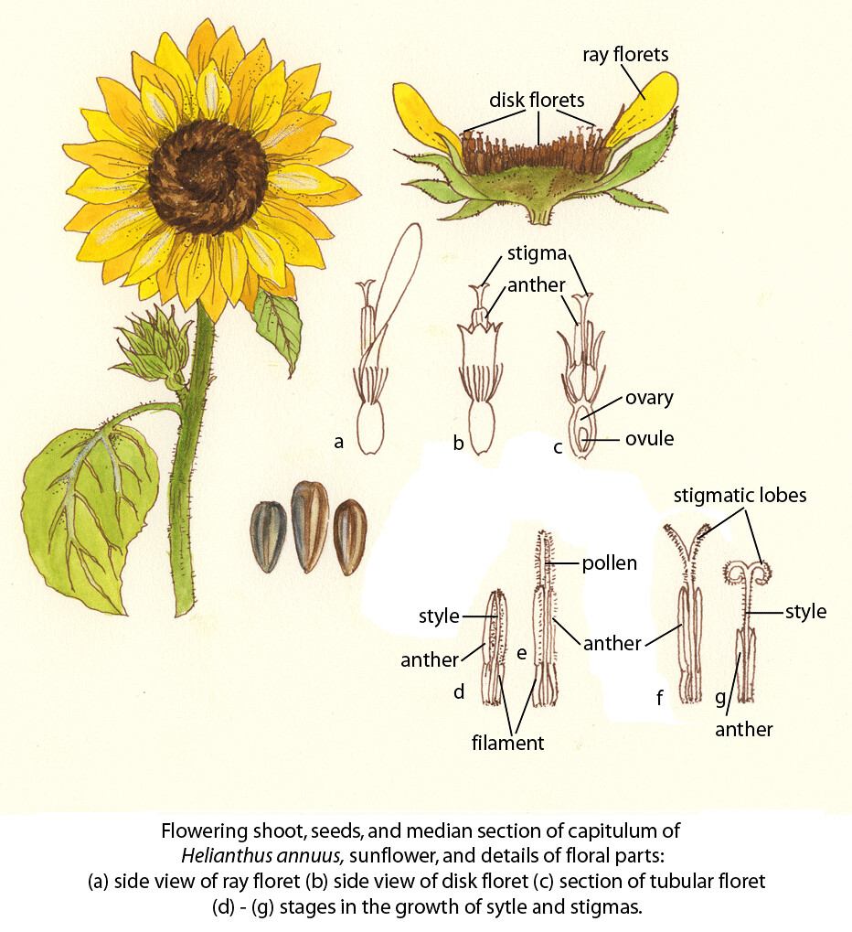 Sunflower faoguida joseph floral diagrams of pollinator flickr pooptronica