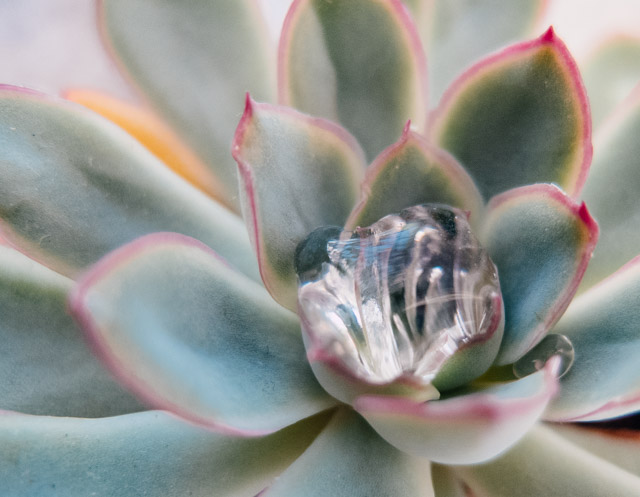 water drop on succulent plant