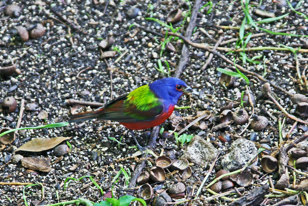painted bunting IMG_8771