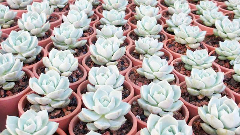 sen da | xuong rong | tieu canh sen da | art plant | terrarium | sen ngan chi