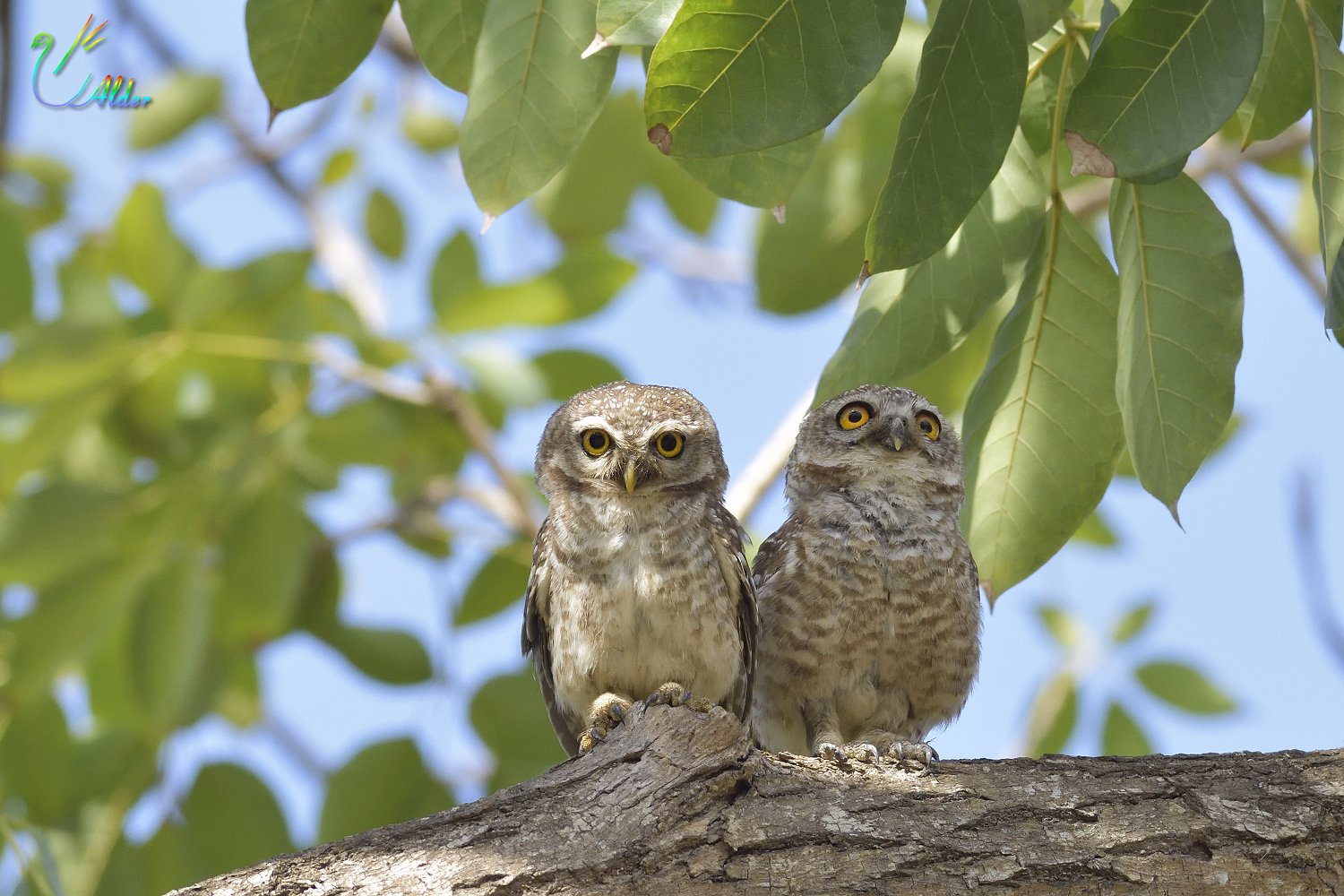 Spotted_Owlet_4698
