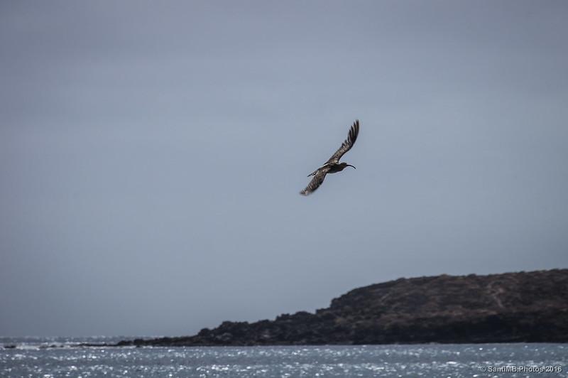 Un zarapito en vuelo